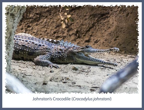 Johnston's Crocodile at the San Diego Zoo
