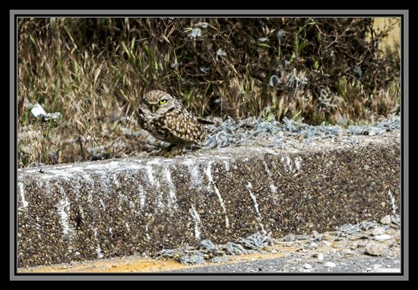 Burrowing owl in San Diego