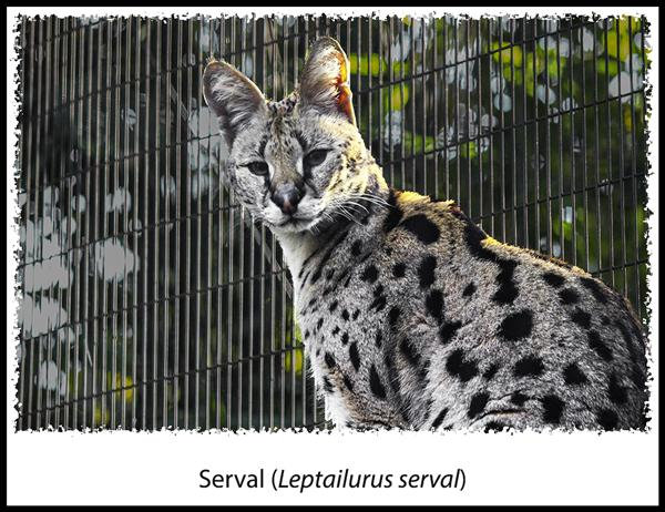 Serval at the San Diego Zoo