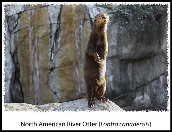 North American River Otter at the San Diego Zoo