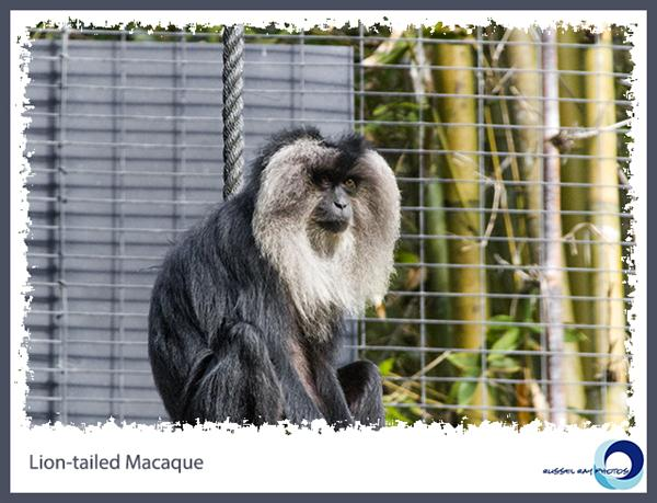 Lion-tailed Macaque at the San Diego Zoo