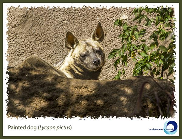 Painted dog at the San Diego Zoo
