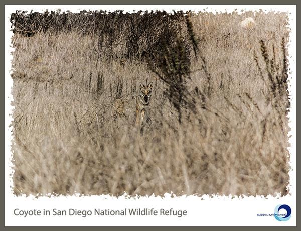Coyote in San Diego National Wildlife Refuge