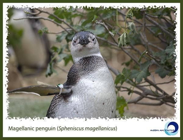 Magellanic Penguin at SeaWorld San Diego