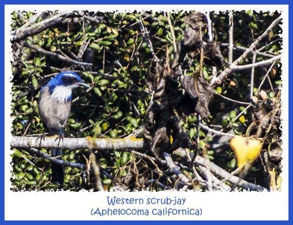 Western scrub-jay in San Diego National Wildlife Refuge