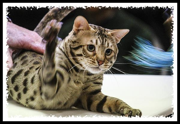 Food & Water Bowl cat show in San Diego