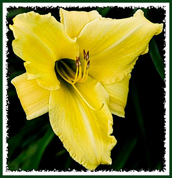 Freeway day lily