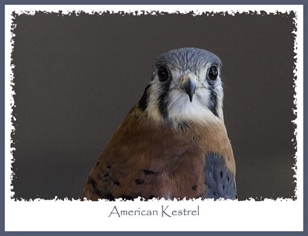 American kestrel