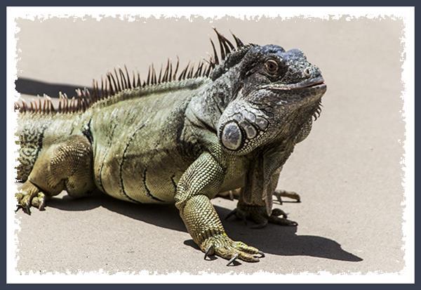 Iguana at Mission Trails Regional Park in San Diego