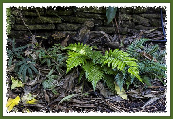 Ferns at the San Diego Zoo