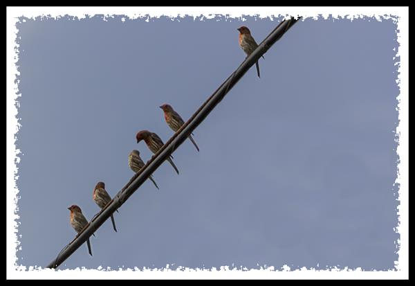 House finches at San Diego National Wildlife Refuge
