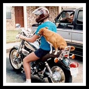 Sugar the motorcycle riding dog
