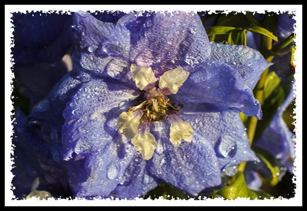 Flower and rain drops
