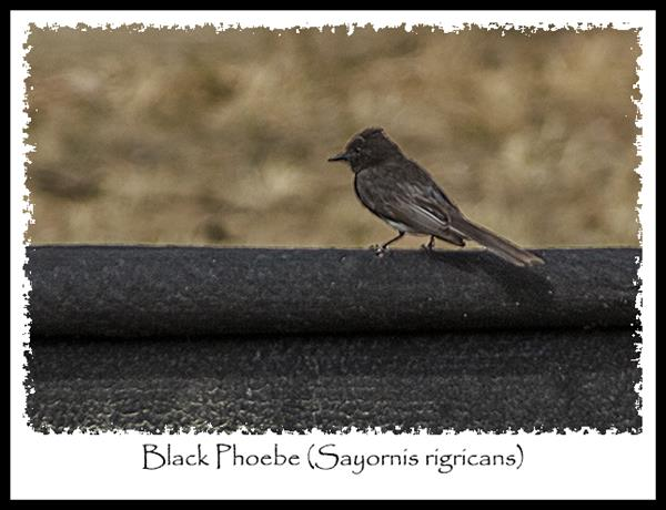 Black Phoebe, South Bay Freeway, San Diego