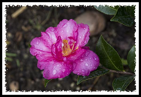 Flower and rain drops