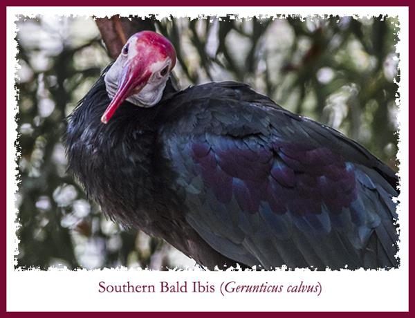 Southern bald ibis at San Diego Zoo Safari Park