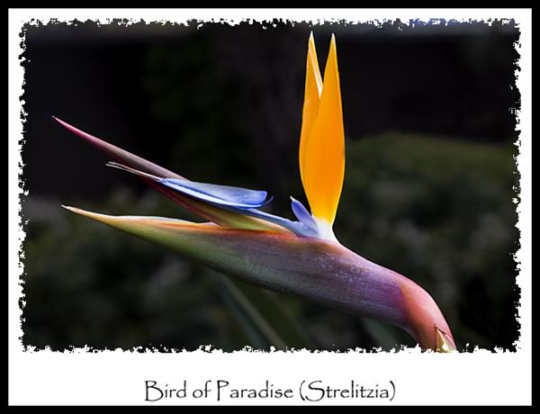 Bird of Paradise (Strelitzia)