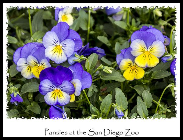 Pansies at the San Diego Zoo