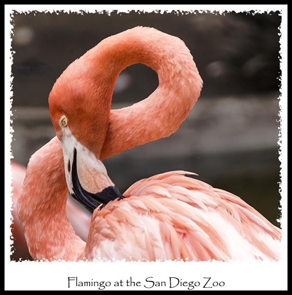 Flamingo at the San Diego Zoo