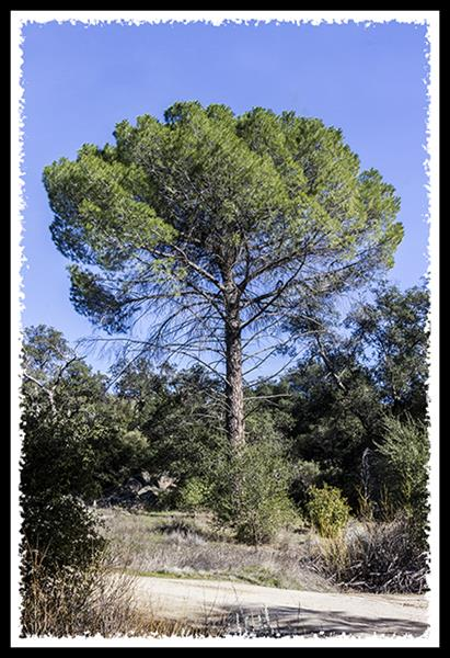 Coulter Pine in Cleveland National Forest