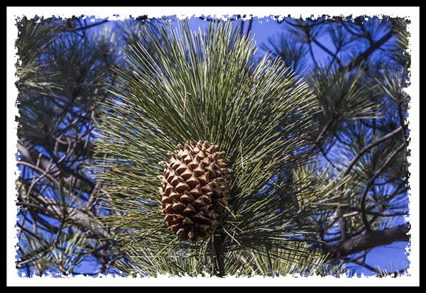 Pine cone from Coulter Pine