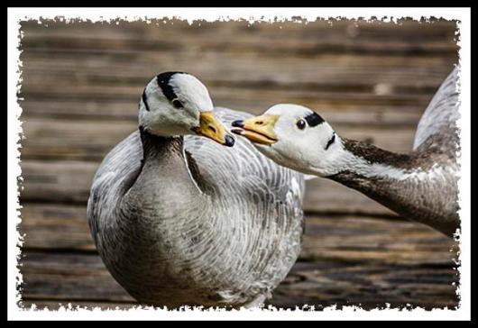 Geese celebrating Valentine's Day