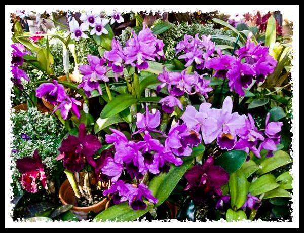 Orchids at the Botanic Building in Balboa Park, San Diego