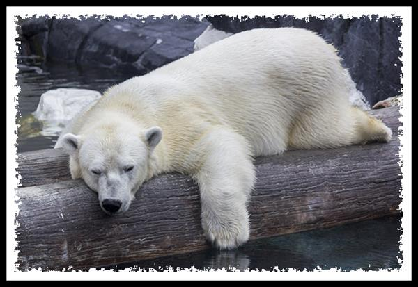 Polar bear at SeaWorld San Diego