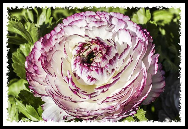 Ranunculus at the Carlsbad Flower Fields