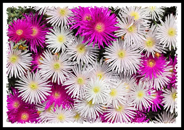 White and purple ice plant