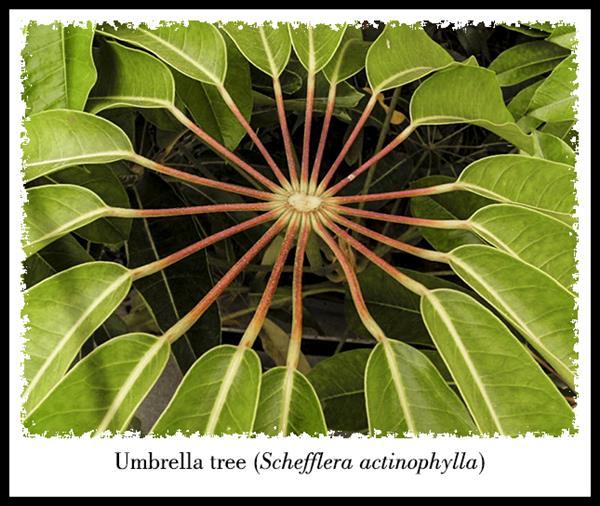 Schefflera leaf