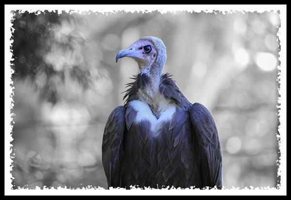 Hooded Vulture at the San Diego Zoo Safari Park