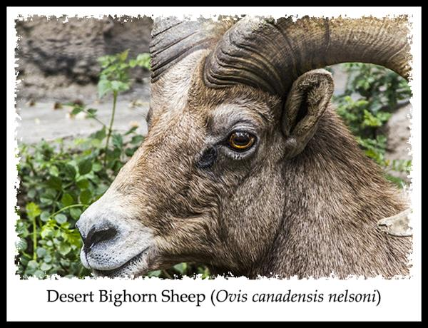 Desert Bighorn Sheep at the San Diego Zoo