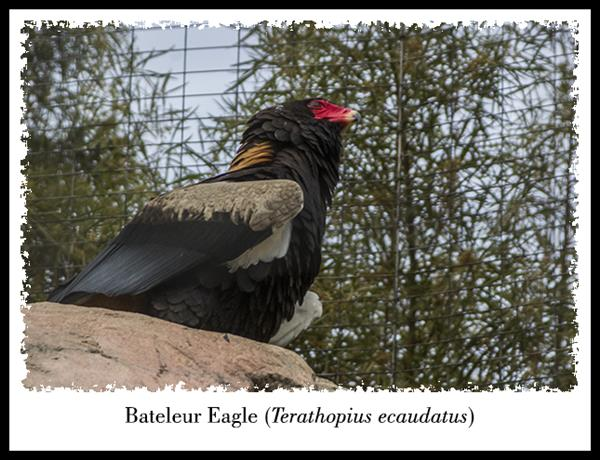 Bateleur Eagle at the San Diego Zoo
