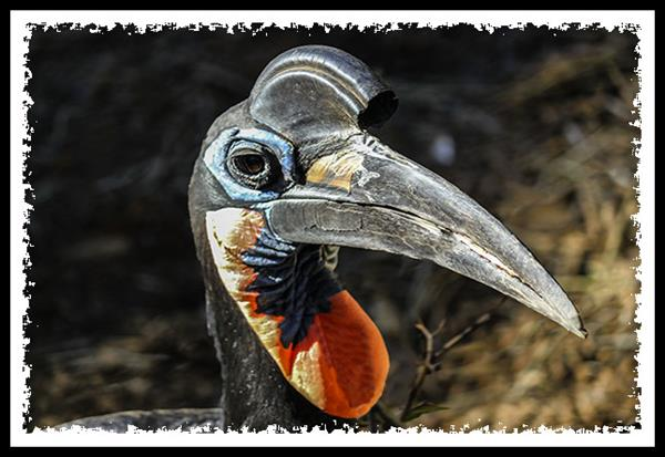 Hornbill at the San Diego Zoo Safari Park