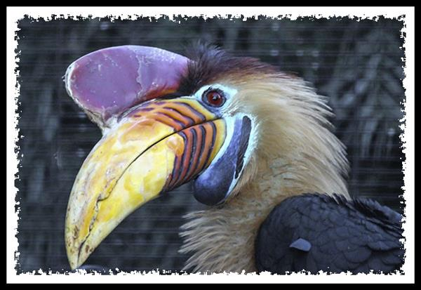 Knobbed Hornbill at the San Diego Zoo Safari Park