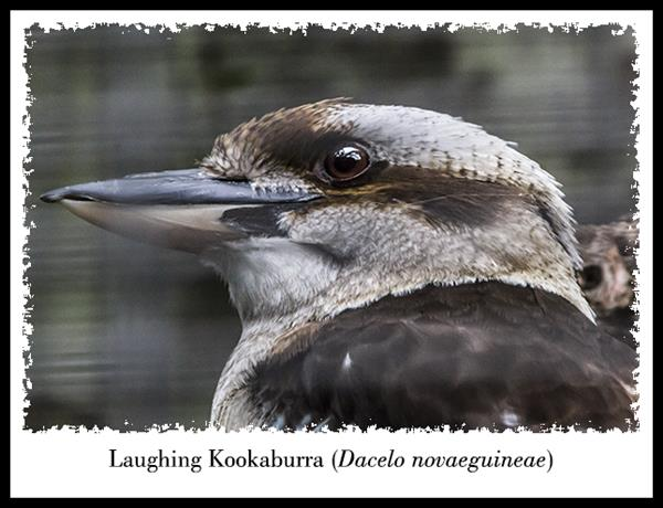 Laughing Kookaburra at the San Diego Zoo