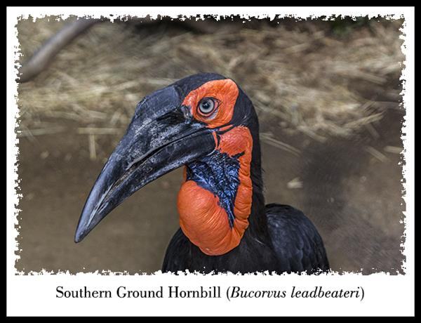 Southern Ground Hornbill at the San Diego Zoo