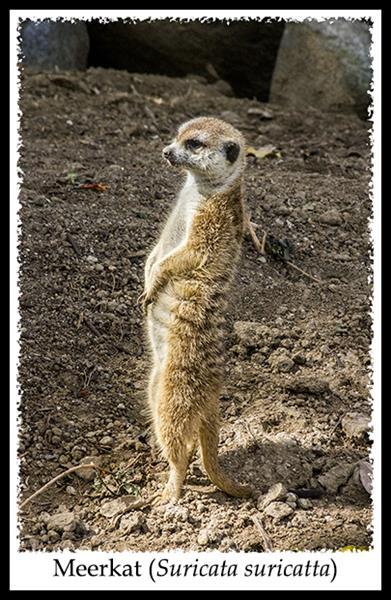 Meerkat at the San Diego Zoo