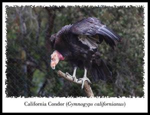 California Condor at the San Diego Zoo
