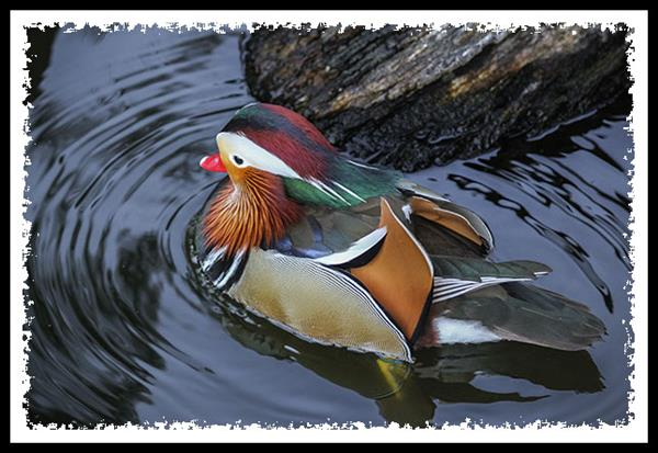 Mandarin Duck at the San Diego Zoo Safari Park