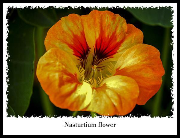 Nasturtium flower