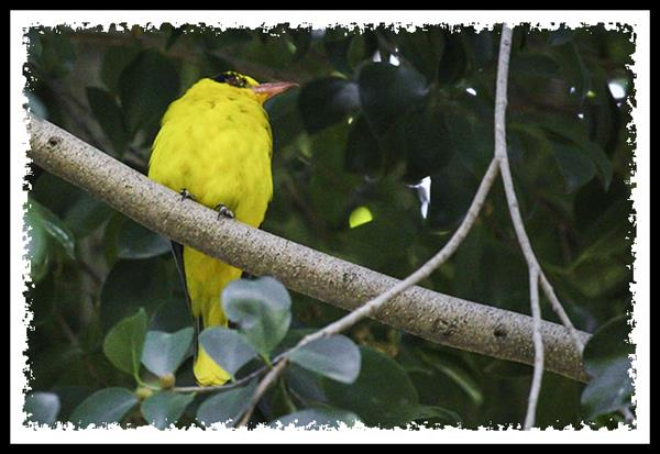 North African Golden Oriole at the San Diego Zoo Safari Park