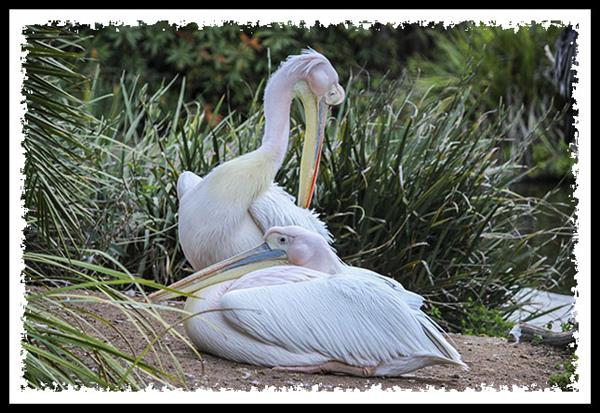 Pink-backed Pelican at the San Diego Zoo Safari Park