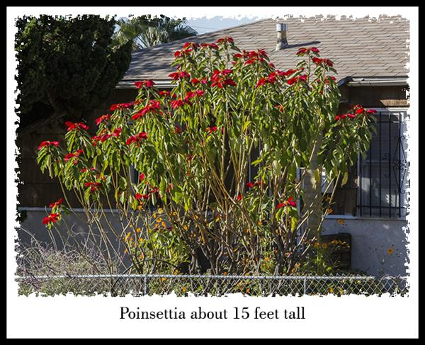 Poinsettia 15' tall