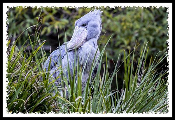 Shoebill at the San Diego Zoo Safari Park
