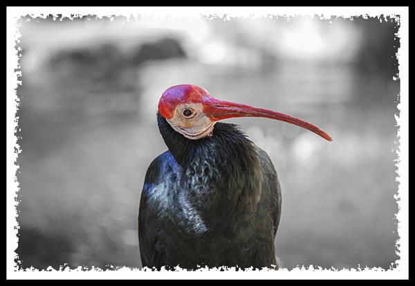 Southern Bald Ibis at the San Diego Zoo Safari Park