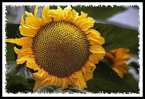 Sunflower showing Fermat's spirals