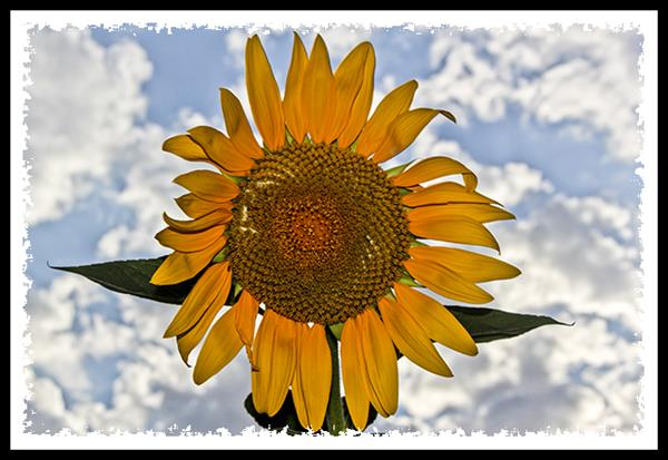 Sunflower and clouds