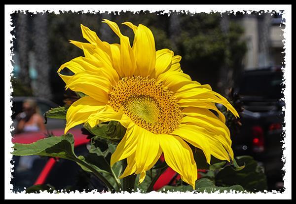 Sunfower